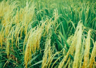 A barna rizs fogyasztása egyre népszerűbb napjainkban. Lássuk, miért is szeretjük annyira!